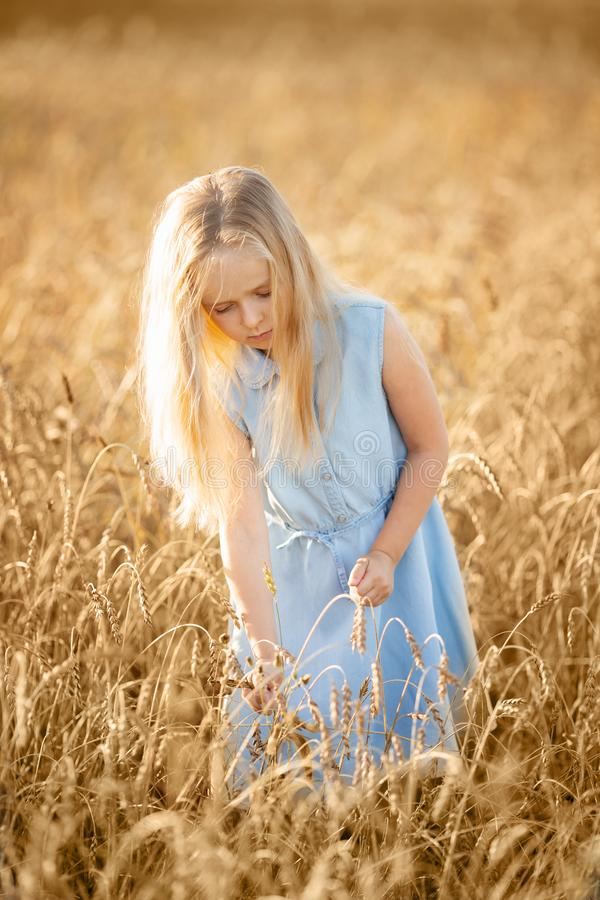 A little blonde girl is standing in a wheat field in summer with spikelets in her hands. royalty free stock images