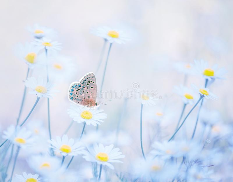 Little blue butterfly bluehead on daisy flowers in a meadow. Artistic tender photo. stock photos