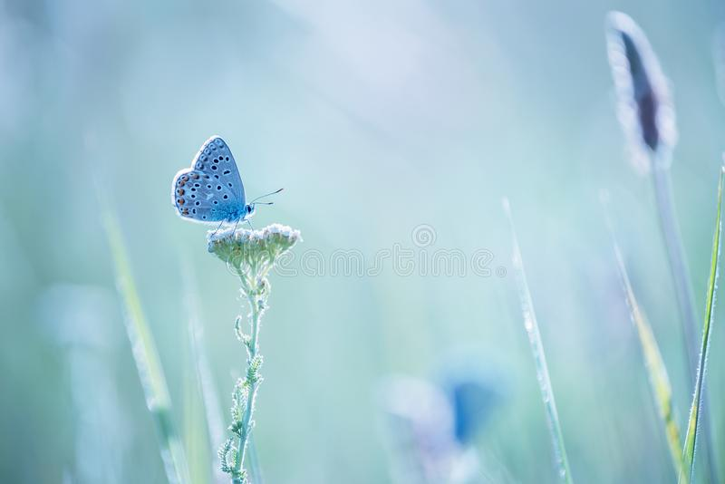 Little blue butterfly bluehead on a yarrow flower in a meadow. stock photo