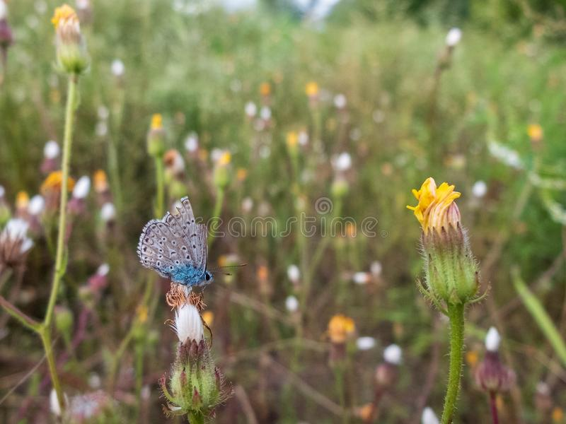 Little blue butterfly sitting on a wild-growing plant flower. Narrow depth of field, blurred floral background stock image