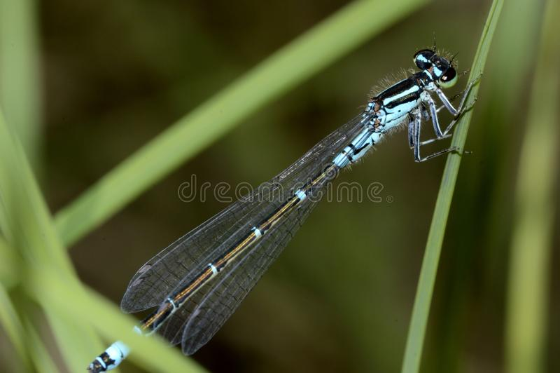Little blue dragonfly. Close-up royalty free stock photo