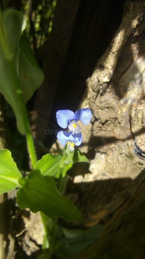 little blue flower stock photos