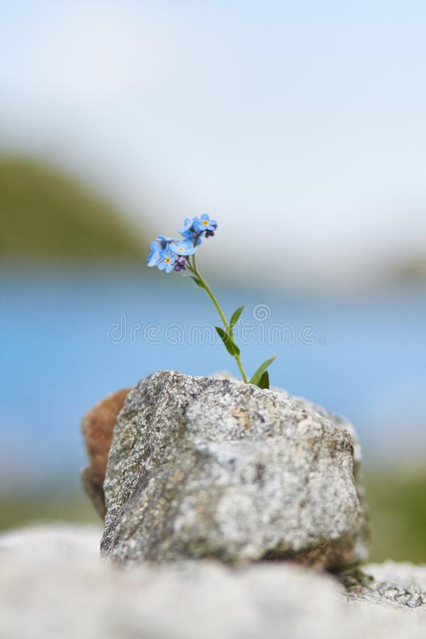 Little blue flower growing from a stone in the mountains, closeu royalty free stock image