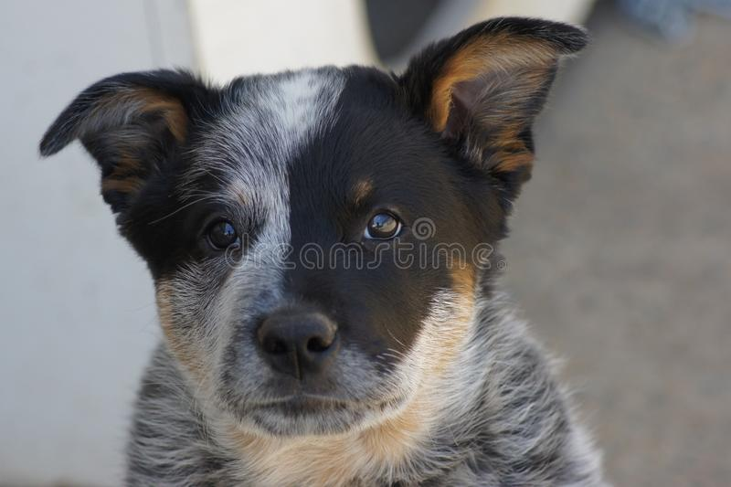 Little Blue Heeler Puppy Dog. Has salt and pepper colours with black an orange ginger. The ears are floppy and so cute. These dogs are beautiful and loyal royalty free stock photo