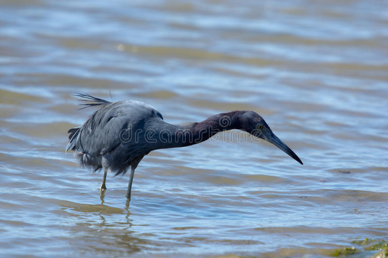 Download Little blue heron stock photo. Image of costa, creature - 23633206