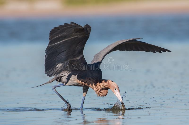 Little Blue Heron catching a fish, Florida stock photography