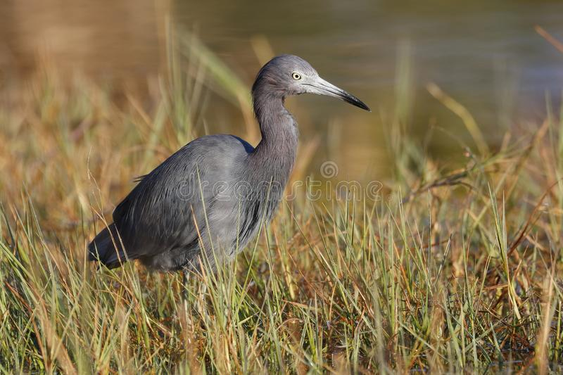 Little Blue Heron at the edge of a marsh - Port Charlotte. Florida. Little Blue Heron Egreta caerulea at the edge of a marsh - Port Charlotte. Florida stock image