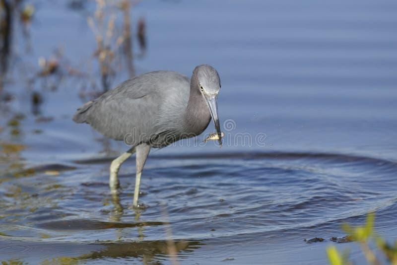 Little Blue Heron catching a fish - Merritt Island Wildlife Refuge, Florida stock images