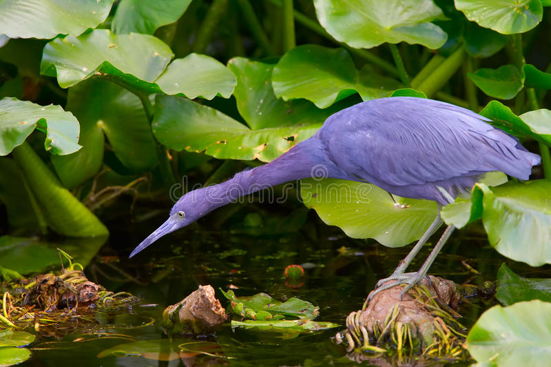 Download Little blue heron habitat stock photo. Image of heron - 9935612