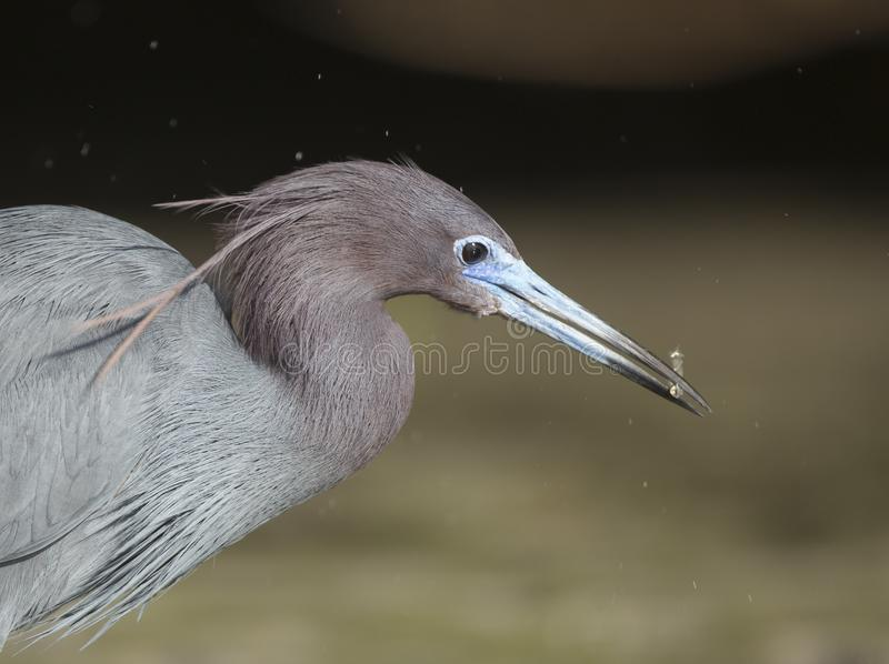 Little Blue Heron hunting royalty free stock photo