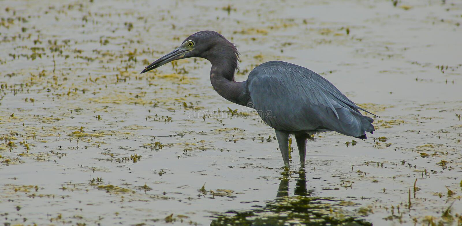 Little Blue Heron Hunting. A Little Blue Heron Egretta caerulea wades in shallow shore water while it searches for food in water grass. Found in Central Florida royalty free stock photo