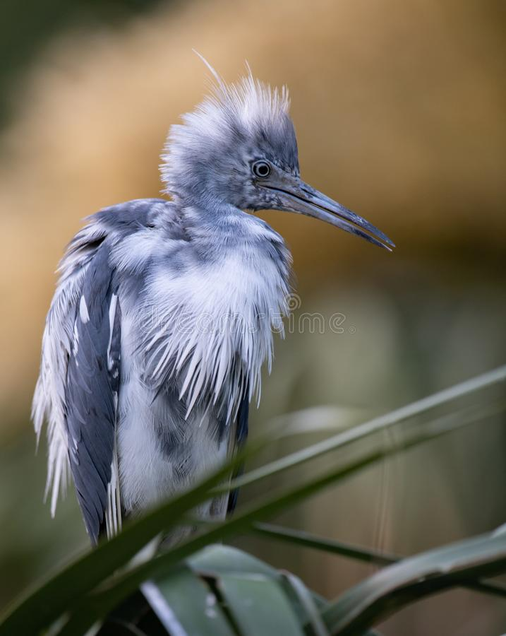 Little Blue Heron in Florida. Little Blue Heron in Northern Florida stock photo