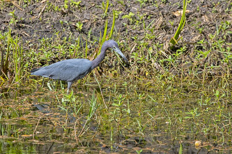 Little Blue Heron Wading In A Swamp For Fish royalty free stock images