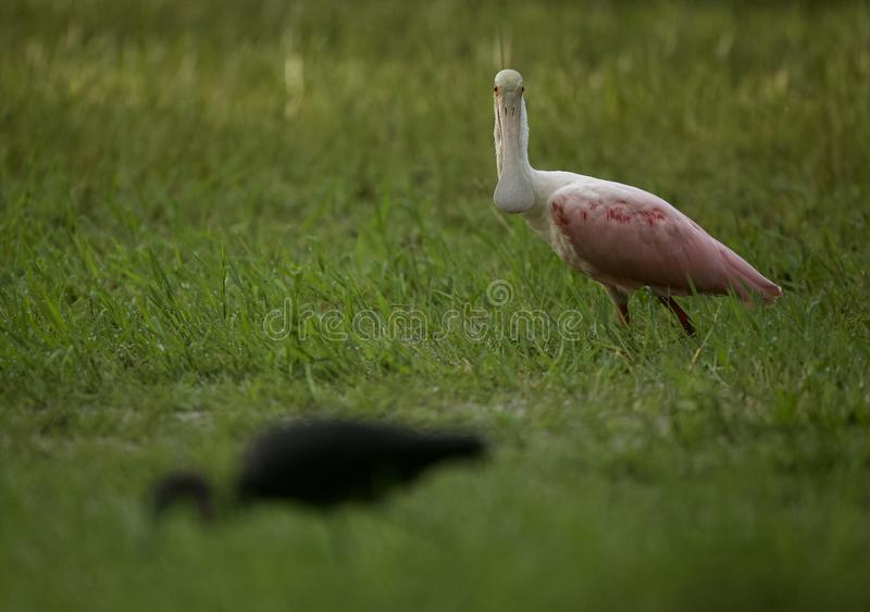 Little Blue Heron and Roseate Spoonbill in Tampa, Florida. A Little Blue Heron wading in a flooded field, searching for tadpoles to eat. Tampa, FL, USA stock image