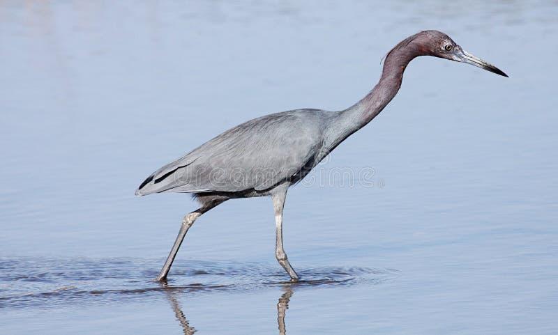 Little blue heron wading stock image