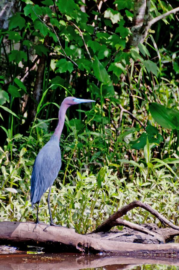 Little blue heron in the wetlands of Louisiana royalty free stock photography