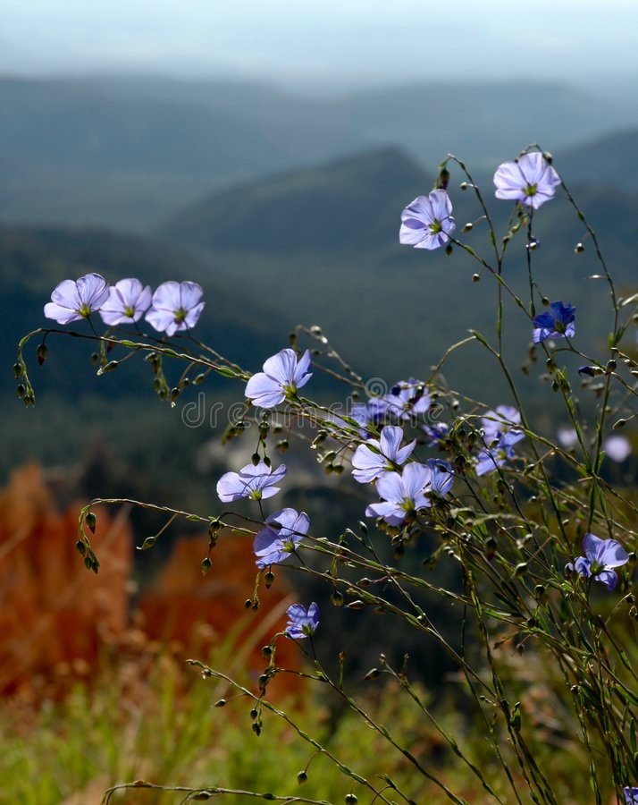Little blue wildflowers stock image