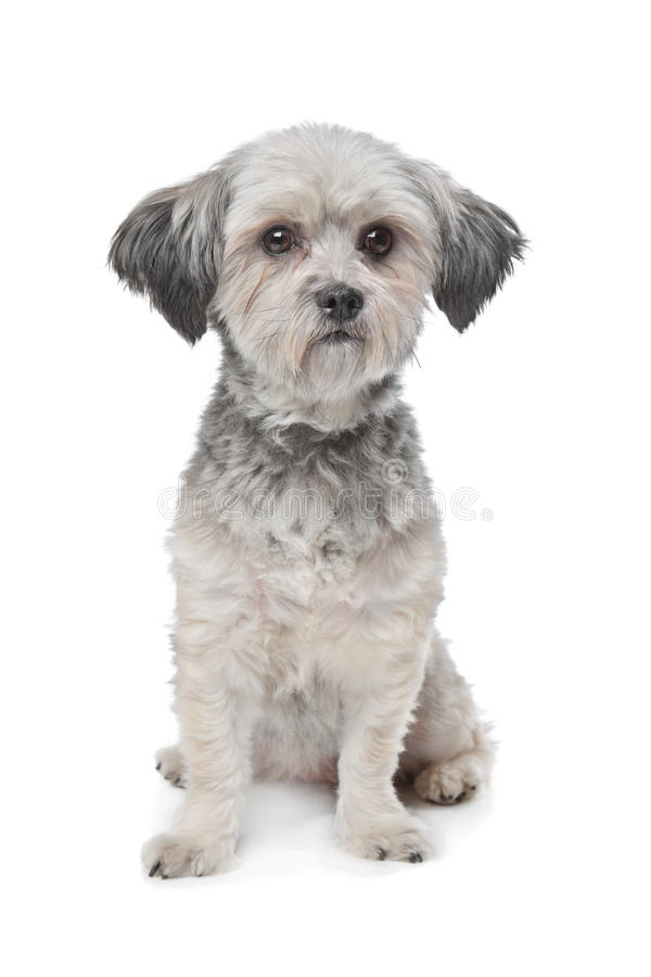 Little boomer dog. In front of a white background stock images