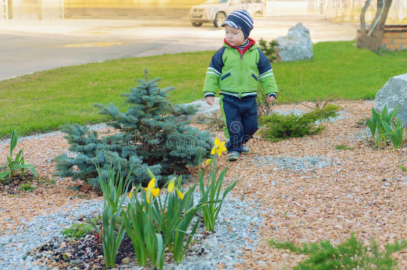 Little boy of blue spruce and daffodils. stock photo