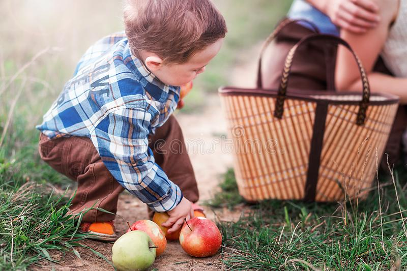 Little boy collects apples in the basket royalty free stock photo