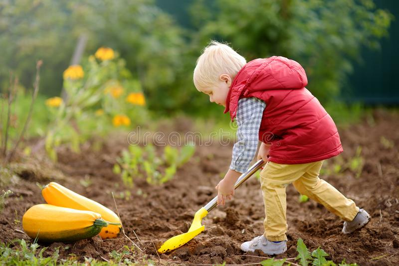 Little boy digs shoveling beds in backyard after harvest. Nearby are collected zucchini. Little boy digs shoveling beds after harvest. Nearby are collected stock photo