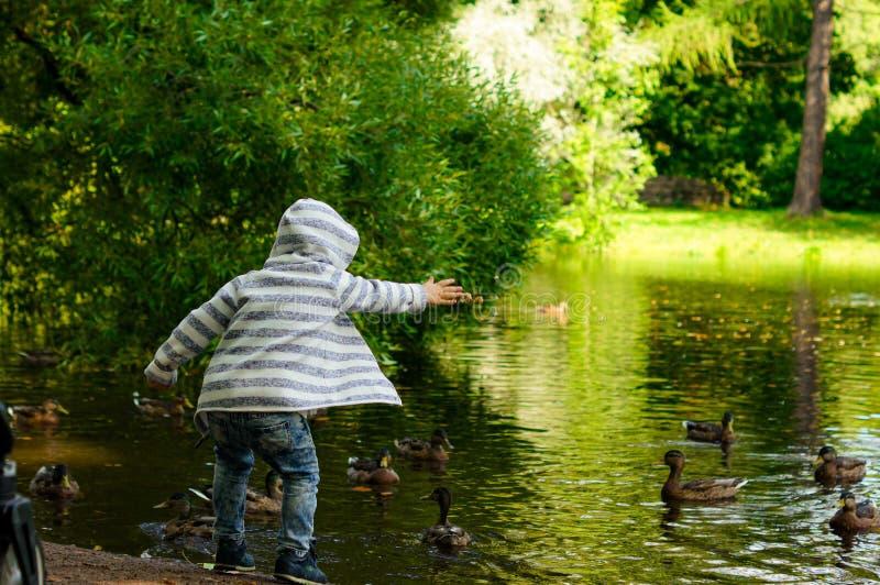 Little boy feeding ducks in park pond stock photos