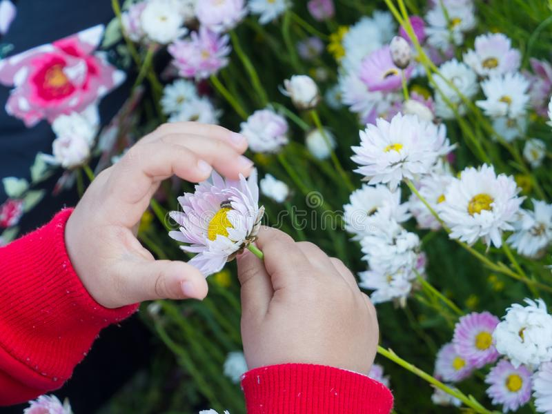 The Little boy hand holding a beautiful wild white daisy flower at a botanical garden. stock image