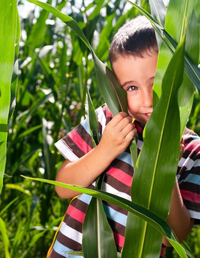 Download Little boy hide in corn stock image. Image of hide, leaves - 20350983