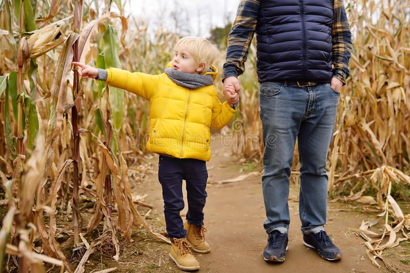 Family walking among the dried corn stalks in a corn maze royalty free stock images