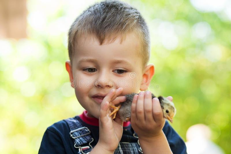 Little boy holding a baby chick on a farm. Concept of happy life. Little boy holding a baby chick on a farm. Portrait of little boy with chick outdoors at the royalty free stock images