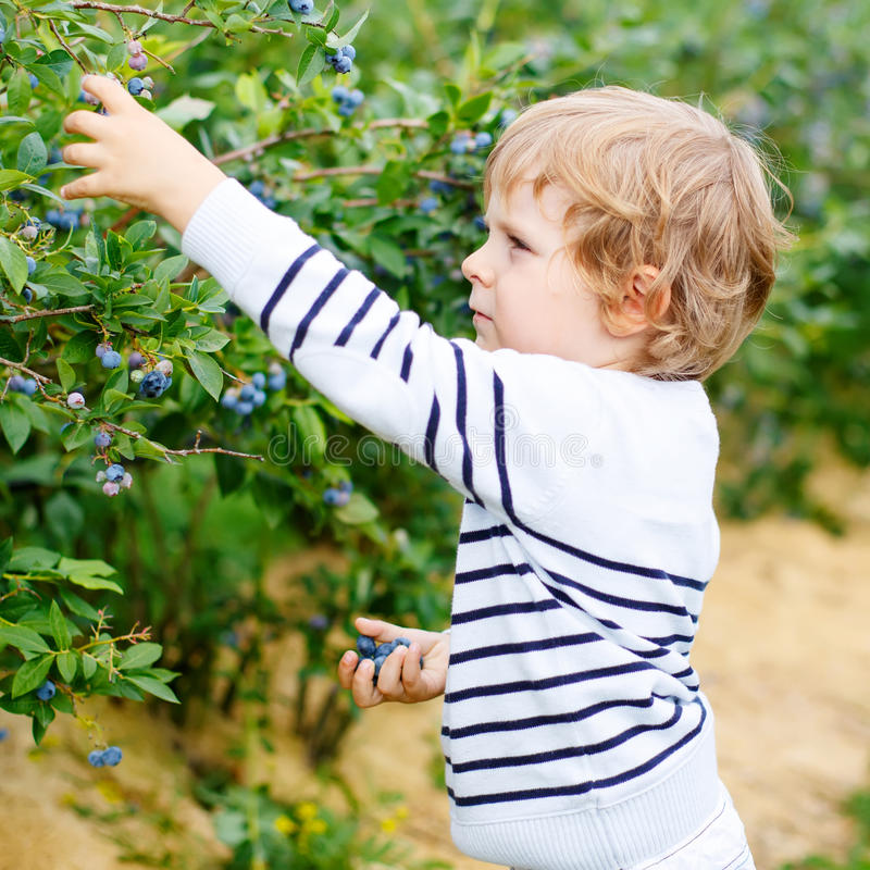 Little boy picking blueberry on organic self pick farm. Funny child eating fresh berries as healthy snack for kids and adults royalty free stock images