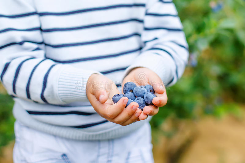 Little boy picking blueberry on organic self pick farm. Little boy holding blueberries on organic self pick farm. Funny child eating fresh berries as healthy stock image