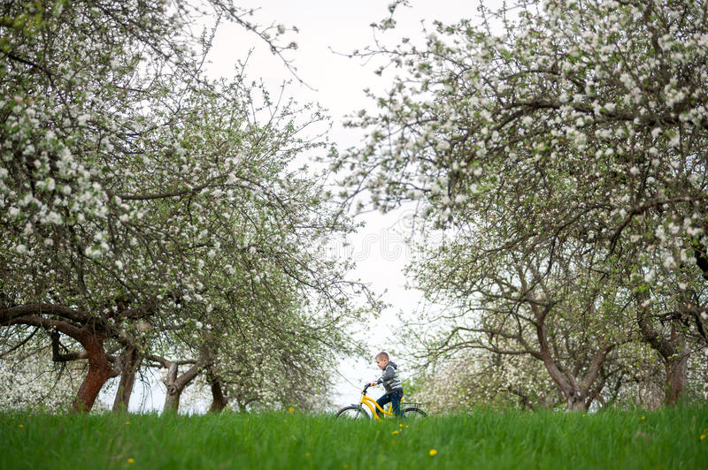Little boy riding bicycle in spring garden. Little boy on yellow bicycle with blooming trees, fresh grass greenery and yellow dandelions in spring garden. Child stock photography