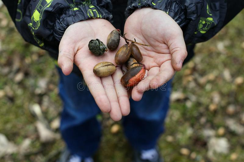 Little boy`s hands holding some seeds, cones and acorns stock photo