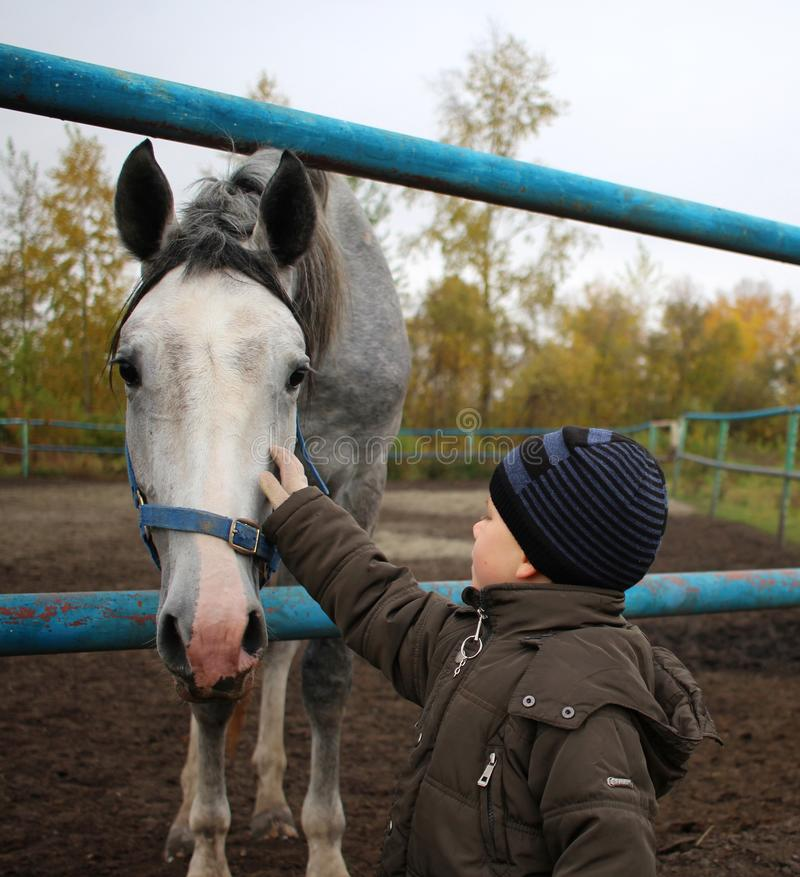 Little boy stroking the face of a gray horse on the farm. Little boy stroking the face of a gray horse on a farm in the blue bridle royalty free stock photography