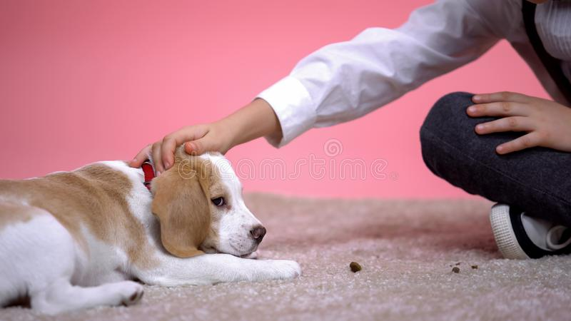 Little boy stroking head of cute beagle puppy on pink background, pet adoption. Stock photo stock photos