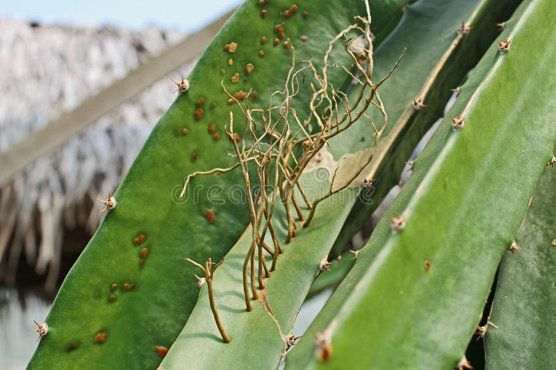 Little branches growing on dragon fruit plant royalty free stock photo