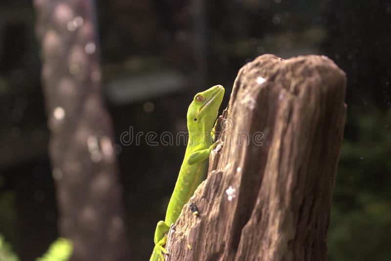 A little bright green lizard. Keeps still, perched on an upright log royalty free stock photos
