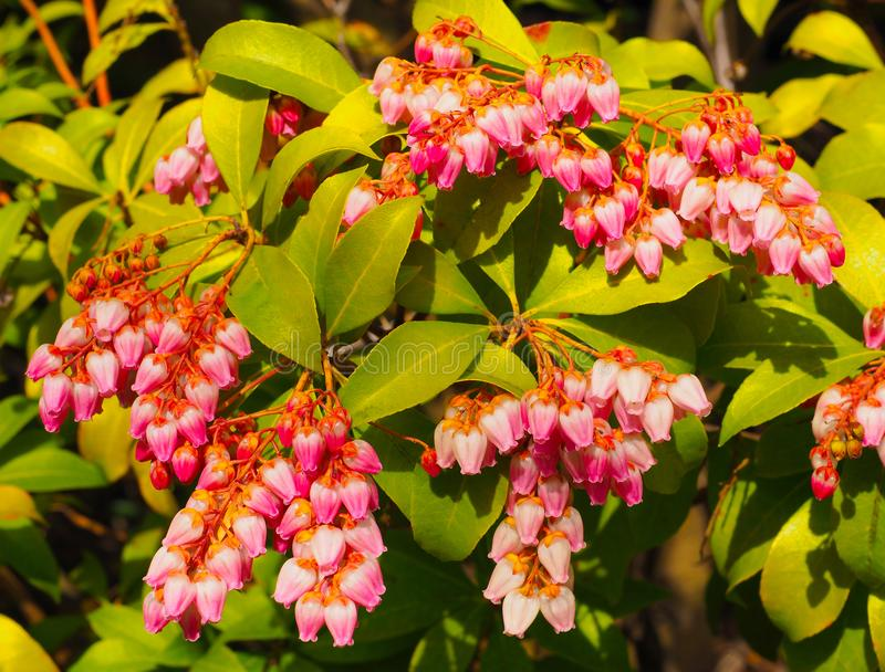 Little bright pink bell flowers on a Pieris Japonica bush. royalty free stock photo