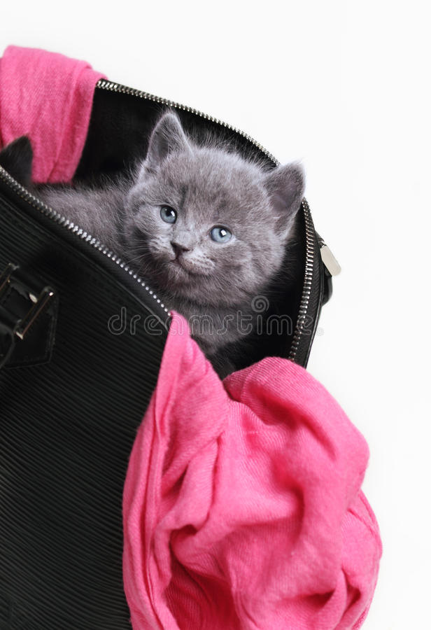 Little british kitten stock image