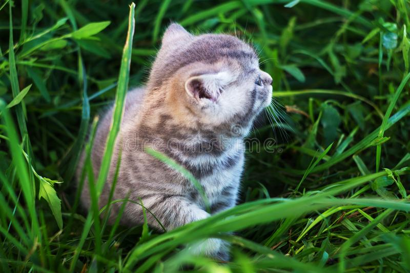 A little British kitten sits in the green grass royalty free stock photography