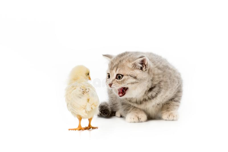 Little british shorthair cat meowing at chick. Isolated on white stock photography