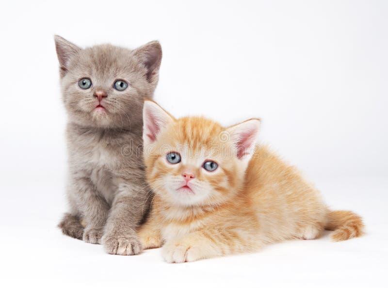 Little british shorthair kittens stock image