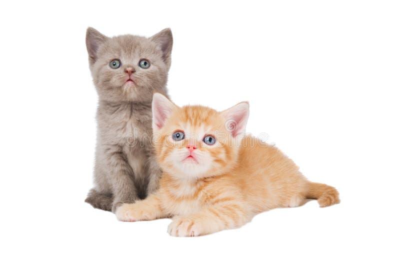 Little british shorthair kittens stock photo