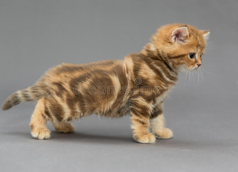 657 Little Orange Tabby Kitten Sitting Gray Photos Free Royalty Free Stock Photos From Dreamstime