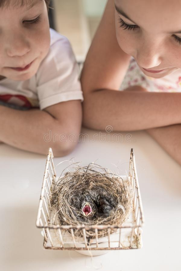 Little brothers observing nest with two chicks of goldfinch. Curiosity and Wonder concept for children royalty free stock photo