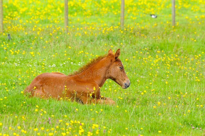 Little brow baby horse laying on a fresh green grass with yellow flowers in the mountain meadow royalty free stock photography