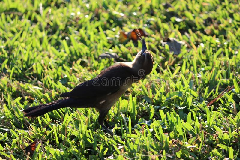 Little brown bird. royalty free stock photo