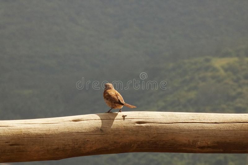 LITTLE BROWN BIRD ON A WOODEN BEAM stock image
