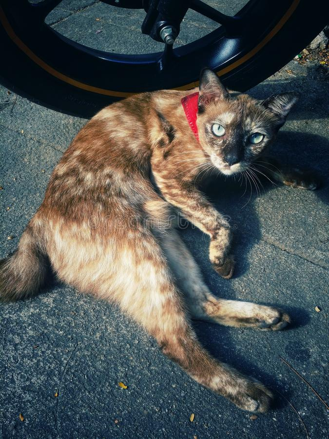 The little cat. Little Brown cat sunbathing the morning its neck with red cloth bound, looking at cute already royalty free stock photography